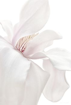 Purity White Magnolia Flower Blossom ,  by Jennie Marie Schell