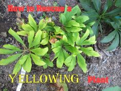 From Cold Climate Gardening - How to rescue a plant with yellowing foliage - good info!