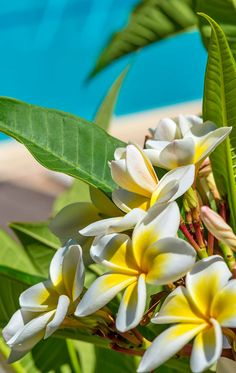 The Plumeria ~ can grow to be a small scrub or even a tree, in warm tropical areas.