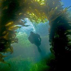 Scuba diver exploring beautiful kelp forest in California's Channel Islands