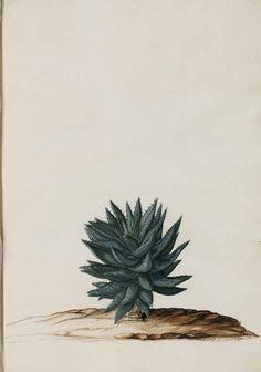 Aloe brevifolia Miller, Moninckx, J., Moninckx atlas, vol. 6: t. 10 (1682-1709)