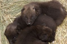 Maned Wolf pups at Denver Zoo