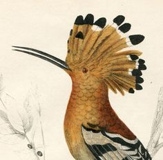 1850 HOOPOE BIRD! Hand-Colored Engraving, Goldsmith's Nature Pl.XXII