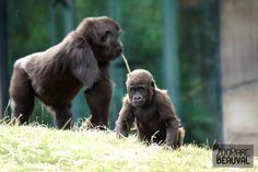 Kuimba, bébé #gorille au ZooParc de Beauval