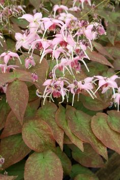 "This vigorous Epimedium grandiflorum hybrid forms a 3' wide clump of tardily deciduous foliage. 18"" high. In spring, the foliage emerges with a delicious raspberry and green pattern and is topped, starting in late March, with very upright stalks of large pink-spurred flowers highlighted by a raspberry cup...simply superb!"