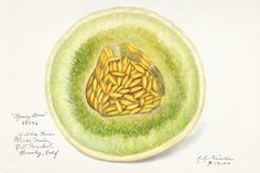 Melon (Cucumis Melo)(1916) by Amanda Almira Newton. Original from U.S. Department of Agriculture Pomological Watercolor Collection. Rare and Special Collections, National Agricultural Library. Digitally enhanced by rawpixel. | free image by rawpixel.com Apple Illustration, Green Grapes, Free Illustrations, Vintage Images, Agriculture, Free Images, Vector Free, Amanda, Public Domain