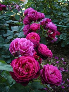 'Bicentenaire de Guillot' | Shrub Rose. Guillot 2003