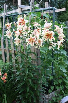 Orienpet Lily Lavon | Orienpet lily 'Lavon' – they bloom mid to late July. This is my ...