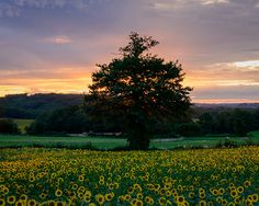 A Limousine sunflower field basking in the light of the setting sun. This light lasted only a couple of moments, where parts of the field lit up really nicely. John 3 30, Proverbs 11, Luke 9, Abundant Life, Seeking God, Sunflower Fields, God First, My Lord, Tree Of Life