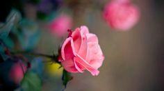 Renatures.com - Tender Lovely Cute Beautiful Sentiment Charm Scent Love Fragrance Roses Nature Flowers Gentle Petals Pink Feel Leaves Sweet Touch Soft Desktop Wallpaper Flower Garden