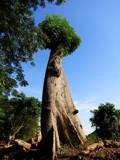 Giant tree on the smal island inwa