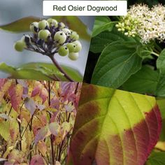 Red Osier Dogwood Cornus sericea (or c. stolonifera) Type: Deciduous Native Shrub Exposure: Sun / Shade Water: Regular to Ample  This shrubby variety of Dogwood grows wild in moist locales from Alaska to Northern Califoria and unlike many native plants in the Pacific Northwest it puts on a dazzling show of Autumn foliage.  Growing to 9ft (2.7m) high this guy forms a multi-stemmed shrub which will form a thicket as wide as 12ft (3.6m) by underground stems and rooting branches. Spring foliage…