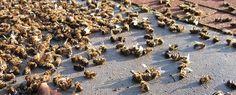 martwe pszczoły - Szukaj w Google