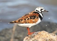 RUDDY TURNSTONE (Arenaria interpres) - A stocky, brightly patterned shorebird, can be seen pecking, probing, and flipping over stones along rocky shores for searching for aquatic invertebrates and insects. Breeds on rocky arctic coasts and tundra.