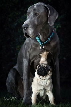 That's A Long Way Up (Redux) by Ben Robson on 500px Great Dane and Pug #pug