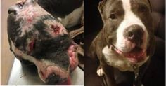 TAKE ACTION! A dog named Wonder Boy was used as bait in a fighting ring and left to die. The person accused of this heinous abuse has not been charged with dog fighting and is a free man. Sign this petition demanding an investigation into the truth behind Wonder Boy's horrific abuse.