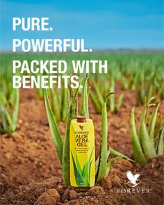 Imagine slicing open an aloe leaf and consuming the gel directly from the plant. Our Forever Aloe Vera Gel® is as close to the real thing as you can get! Aloe vera helps you maintain natural energy levels and has natural cleansing abilities that help the digestive tract absorb nutrients from the foods we eat into the blood stream, while promoting friendly bacteria growth. #aloevera #aloeverauses #bestaloeveradrink #thealoeveracompany Aloe Vera Gel Forever, Forever Living Aloe Vera, Aloe Blossom Herbal Tea, Forever Aloe Berry Nectar, Aloe Drink, Aloe Vera Uses, Natural Aloe Vera, Aloe Leaf, Forever Living Products