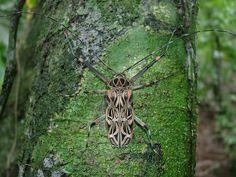 Werner Rose | Harlequin Beetle | Acrocinus longimanus.jpg