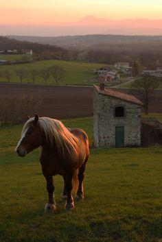 Comtois draft horse