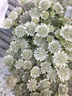 Hvit grønn