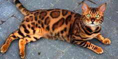 Thor: The Internationally Loved Bengal Cat - https://www.bengalcats.co/thor-internationally-loved-bengal-cat/