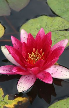 Bright pink water lily at Mission San Juan Capistrano in southern Orange County, California • photo: webbmb on Flickr