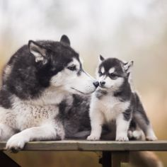 Eliminate Over 30+ Common Behavioral Siberian Husky Issues - siberian husky #husky #siberianhusky