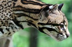 Ocelot! Pretty big cat!