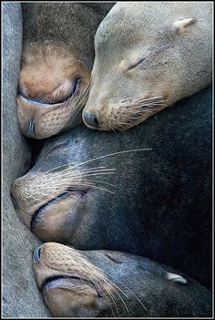 Seals or sea lions? Sea lions have external ears while seals do not. They both are marine mammals known as Pinnipeds. The third member of the Pinnipeds is the walrus. There is only one species of walrus (3 subspecies), while there are 16 species of sea lions, and 20 species of seals.
