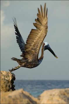 Pelican  ..... HE'S ONE BIG BIRD..............ccp