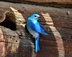 Selway Meadows Bluebird