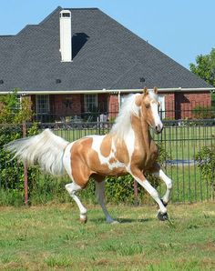 Sunsation- Gorgeous Palomino Homozygous Pinto Beautiful horse ... with delicate head.  #Horses