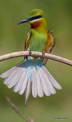 Blue-tailed Bee-eater. May 2013, Mandya Dist, Karnataka. By Subramanya Madhyastha.