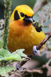 The golden tanager (Tangara arthus) is a species of bird in the family Thraupidae. It is widespread and often common in highland forests of the Andes (from Bolivia and northwards) and Venezuelan Coastal Range in north-western South America.  Its plumage is overall golden-yellow with black to the back, wings, tail and ear-coverts. Some subspecies are partially/largely brown below.