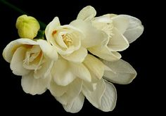 freesias - beautiful and they smell exotic!