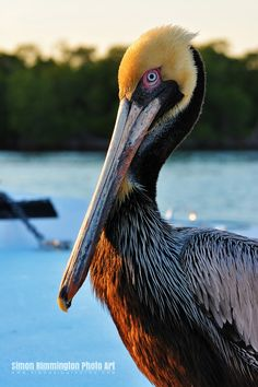 Pelican:  a rather dignified bird