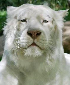 8c11413643db Tiger, Rare Animals, Unusual Animals, Animals Beautiful, Beautiful Cats,  Beautiful