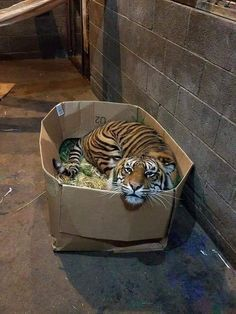 Cats love their boxe Cats love their boxe Cats love their boxes. Funny Animal Pictures, Cute Funny Animals, Cute Baby Animals, Animals And Pets, Cute Cats, Funny Cats, Funny Tiger, Sad Pictures, Beautiful Cats
