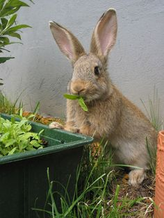 "An article on how to keep rabbits out of the garden. My favorite part is the section on the ""decoy garden"" you can plant that feeds the bunnies. Yay!!"