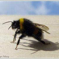 Βομβίνος ή μπάμπουρας Insects, Animals, Animales, Animaux, Animal, Animais