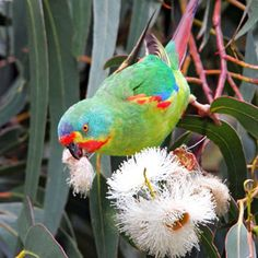 AUSTRALIAN SWIFT PARROT FEEDING ON GUM BLOSSOM