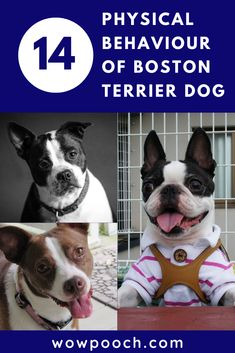 #Boston #Terrier #Dog #Breed Information, #Characteristics