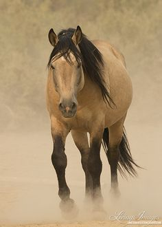 Bugs a gorgeous buckskin wild stallion living in the Sand Wash Herd area of Colorado Horse Therapy, Watercolor Animals, Wildlife Art, Horse Pictures, Horse Riding, Animals Beautiful, Farming, Wolves, Real Life