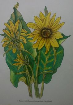Jenn Rubin (18+ division) from American Wildflowers Coloring Book