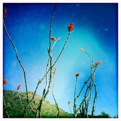 Arizona flowering Cactus spikes | Tucson Sod | Evergreen Turf