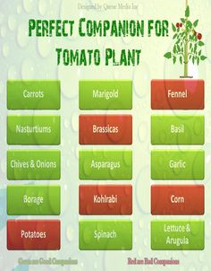 Tomato Companion Plants #gardening #tomatoes