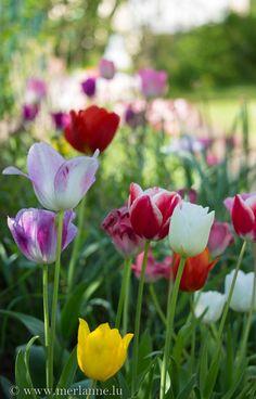 Tulpen in unserem Garten - tulips in our garden - tulipes dans notre jardin