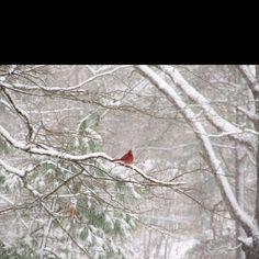 Red bird in snow by kelliclark