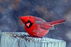 Cardinal in the Snow ( 3900 x 2593 pixels ) - morgueFile.com have lots of free photos to download. morgueFile - The image search engine with full-size results.