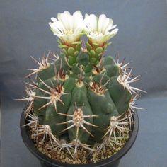 Gymnocalycium mostii ssp. ferocior ex Matumura